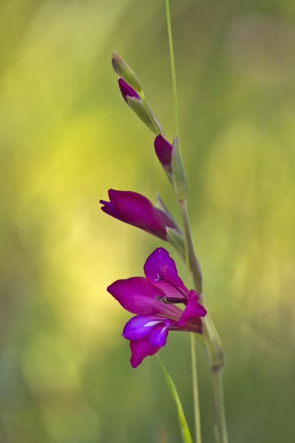 pnsac primavera flor gladíolo