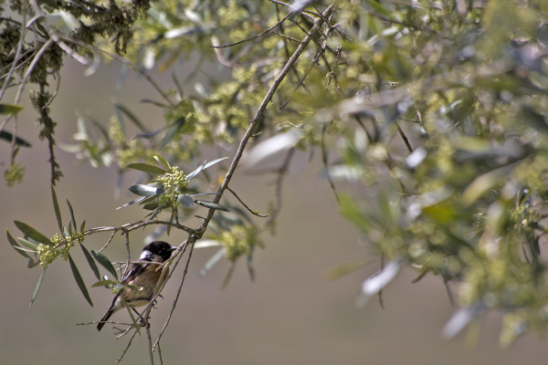 pnsac primavera ave cartaxo-comum