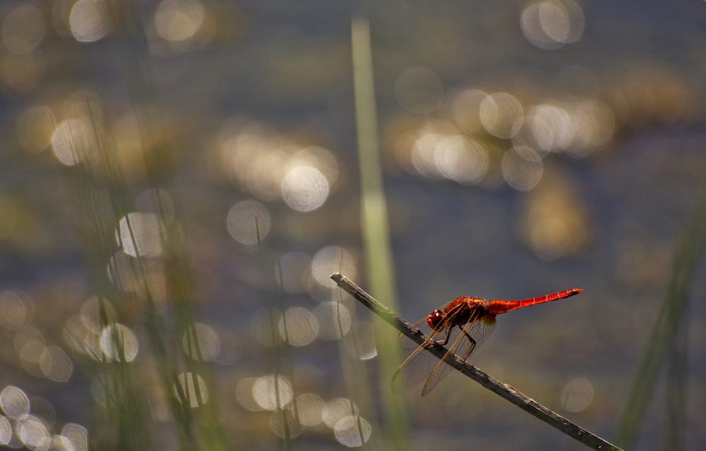 lagoa-de-melides libelinha