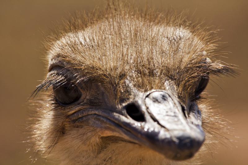 porto-covo avestruz ave
