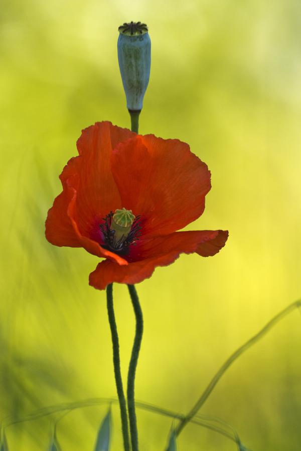 aveiro flor papoilas