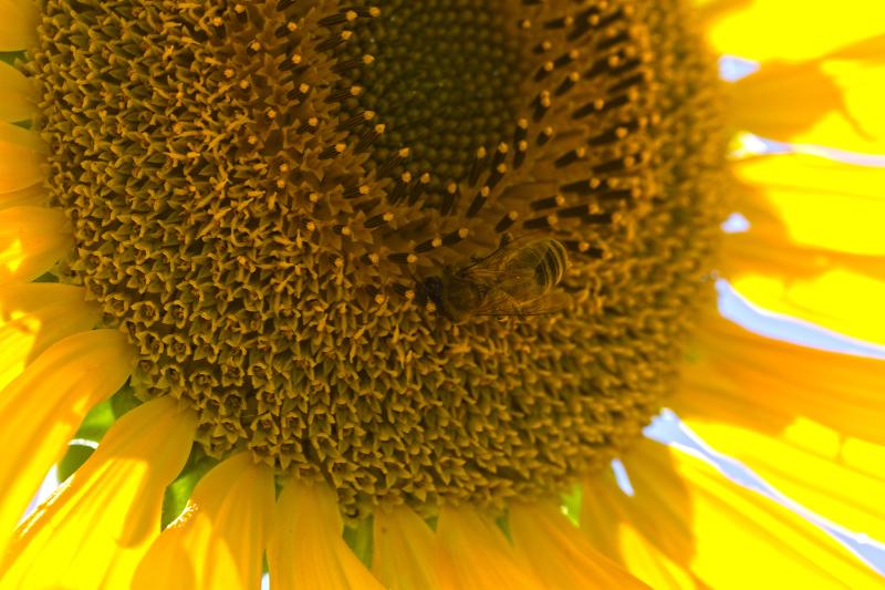 flor girassol coimbra abelha amarelo