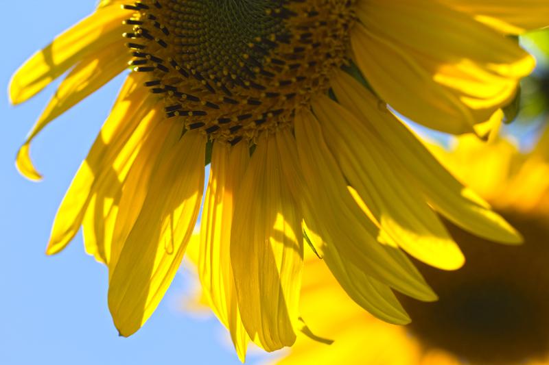 flor girassol coimbra amarelo