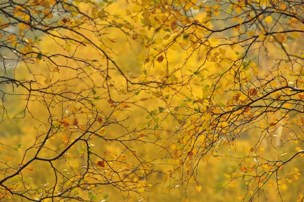 serraestrela  arvore outono amarelo