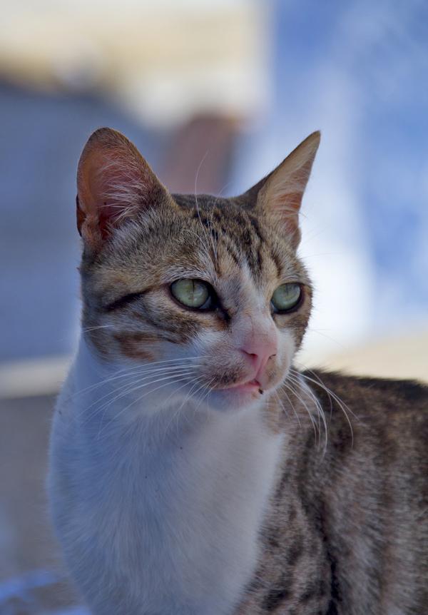 marrocos medina Chefchaouen gato