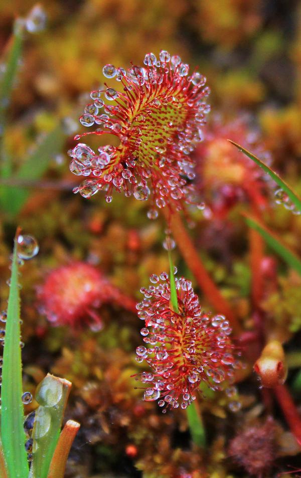 peneda-gerês planta-carnívora