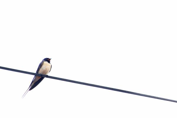 peneda-gerês ave andorinha
