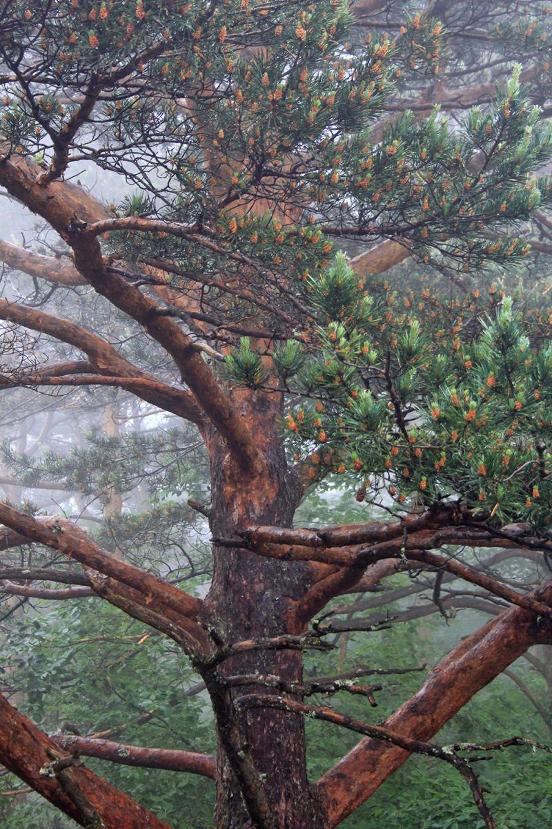 peneda-gerês arvore pinheiro-de-casquinha nevoeiro