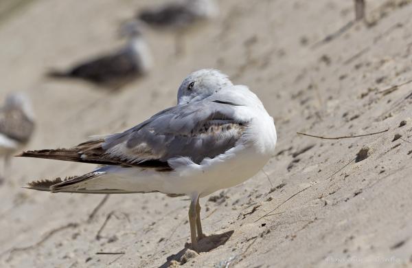 gaivota praia Vieira