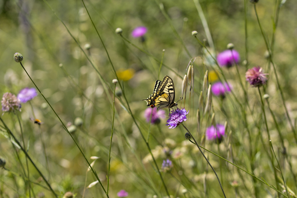 borboleta pnsac  cauda-de-andorinha