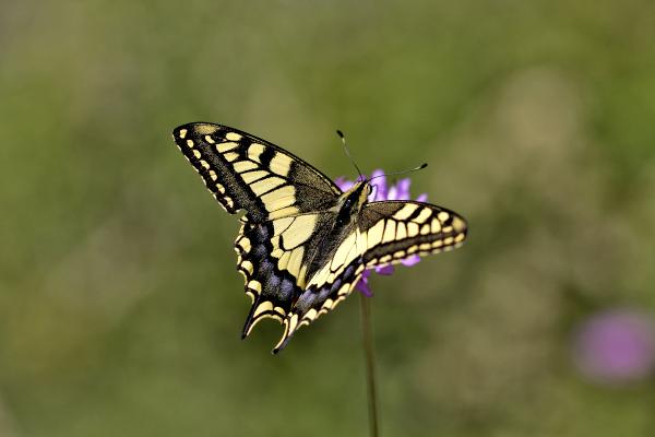 pnsac borboleta cauda-de-andorinha