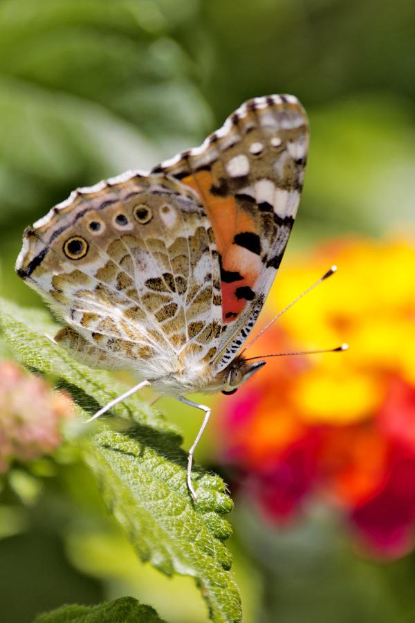 borboleta leiria bela-dama