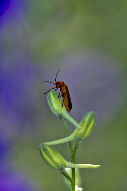 coimbra flor insecto coleoptero