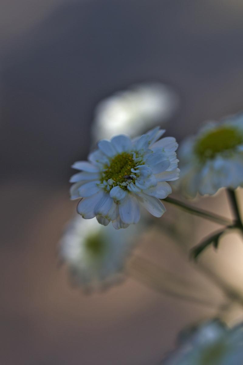 coimbra flor