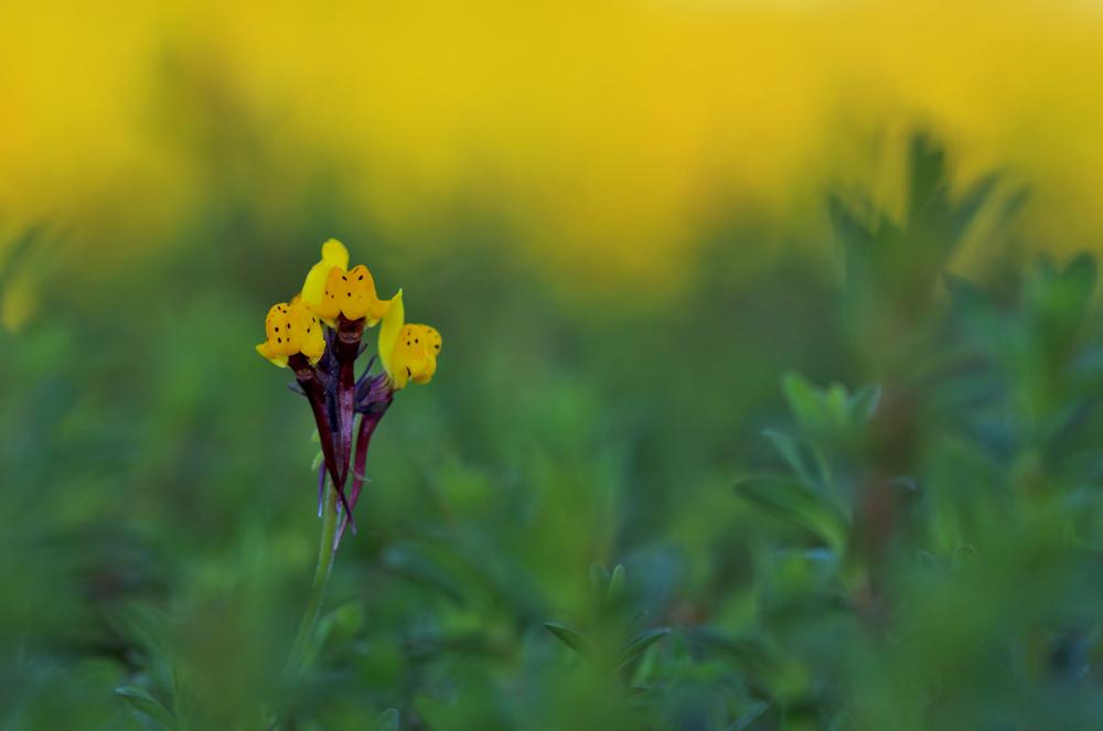 sicó serra flor amarelo