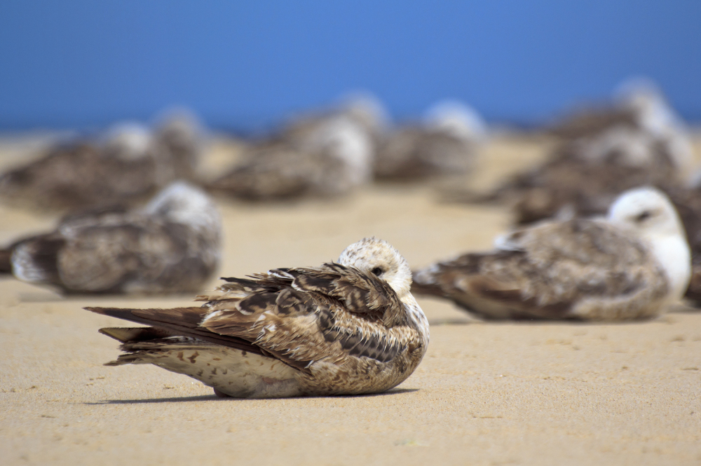 vieira gaivota ave