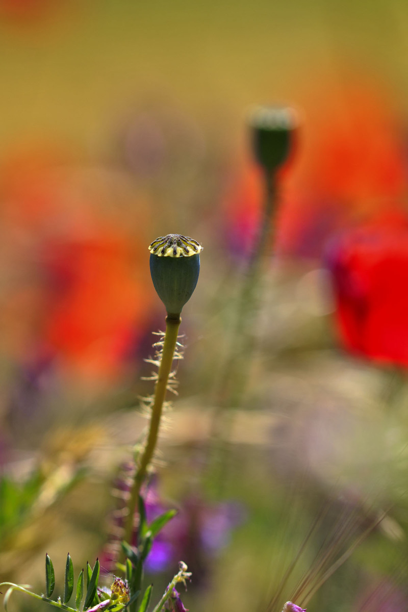 pnsac flor papoilas