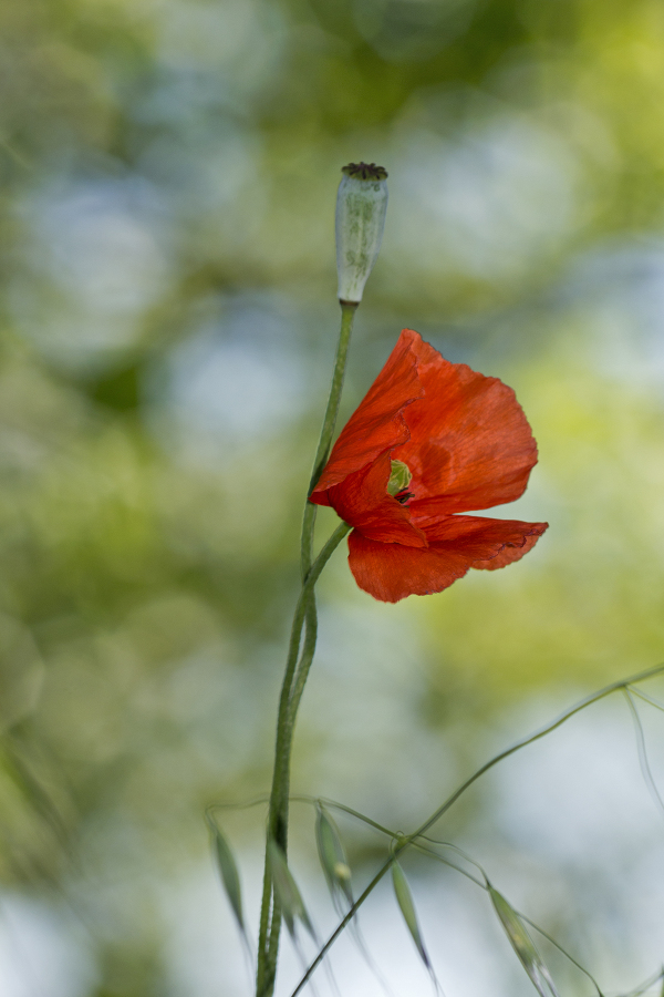 aveiro pateira fermentelos papoilas flor