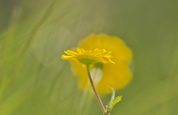 aveiro pateira fermentelos flor amarelo