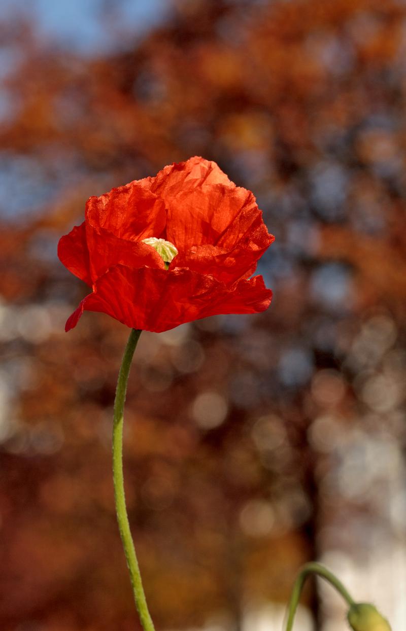 flor lisboa papoilas