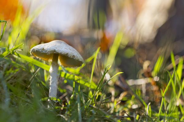 cogumelo lousã