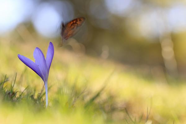 flor açafrão lousã borboleta SantoAntóniodaNeve