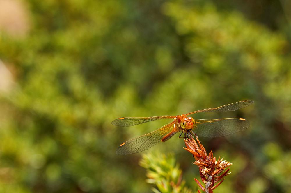 libelinha serraestrela