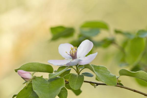 flor marmeleiro coimbra