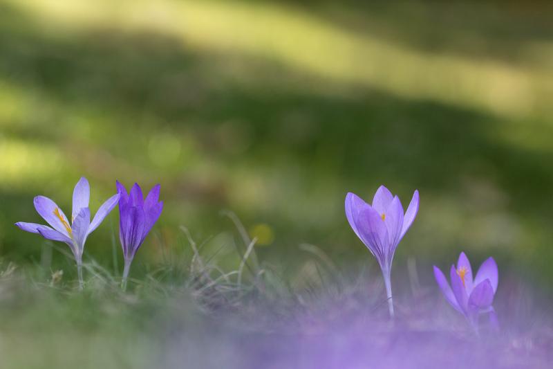 lousã flor outono SantoAntóniodaNeve açafrão