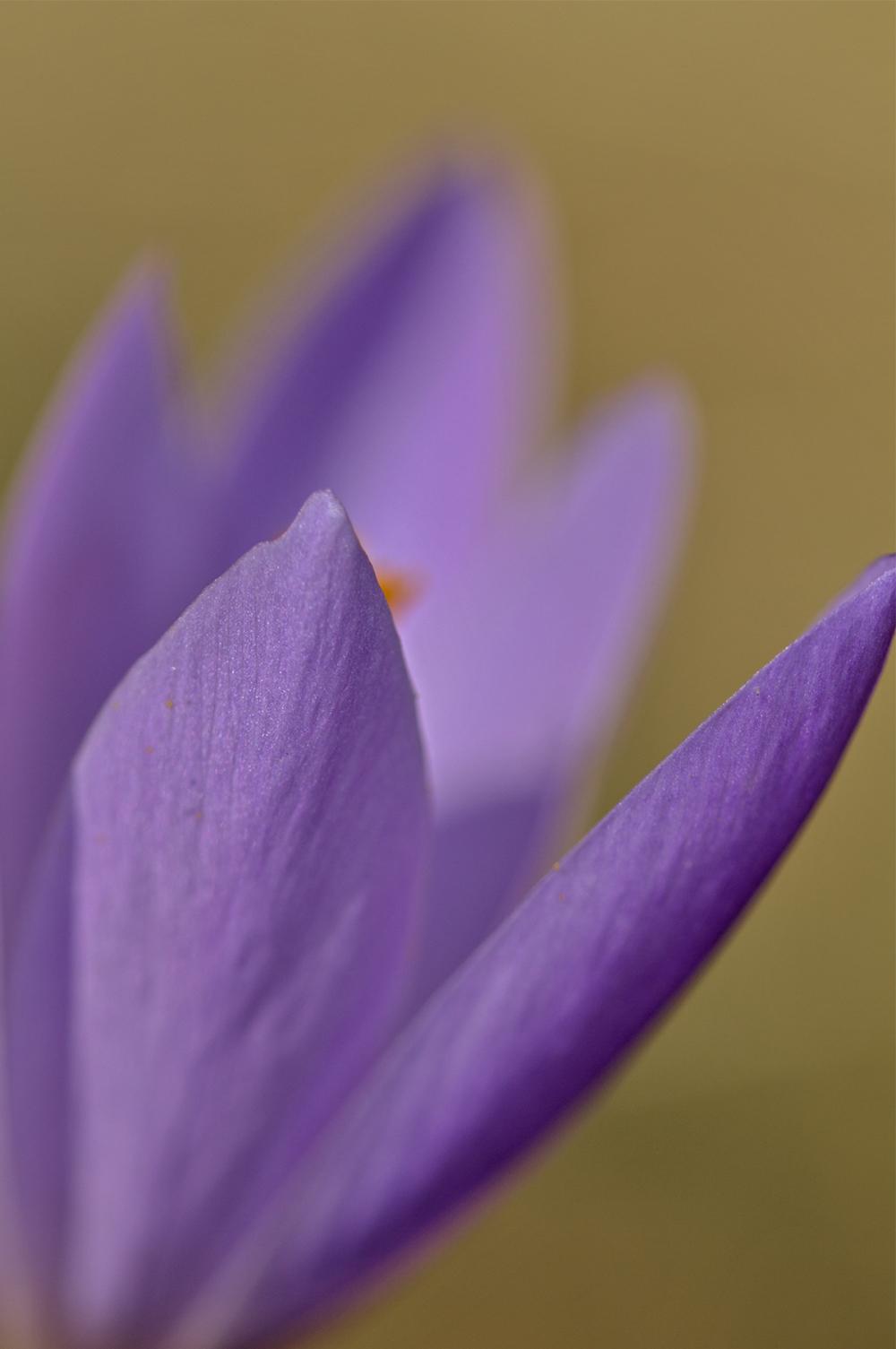 flor açafrão lousã SantoAntóniodaNeve