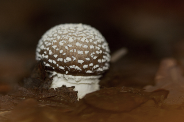 serra-do-açor mata-da-margaraça cogumelo