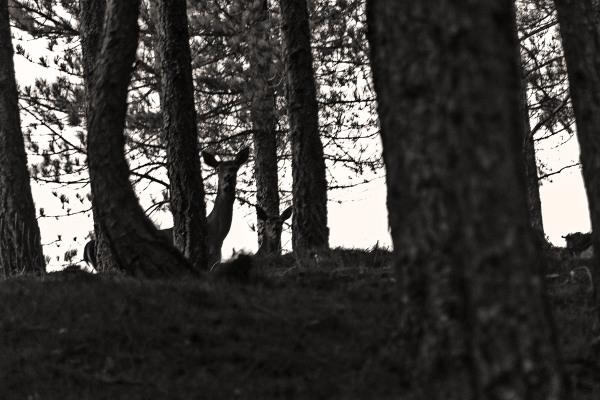 veado brama outono lousã