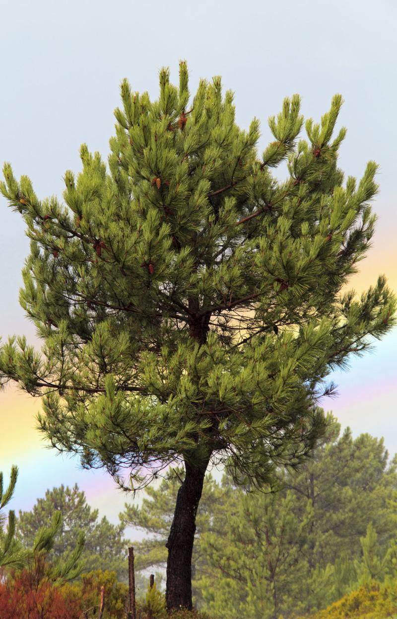 lousã arvore arco-iris