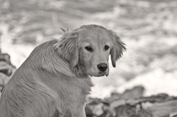 nazare cão