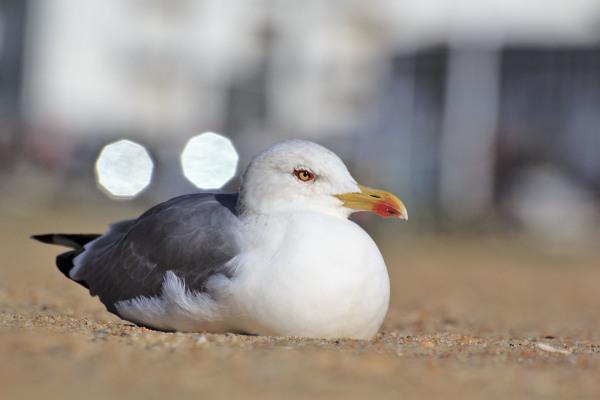 praia nazare gaivota