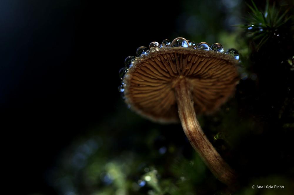 serra-do-açor gotas cogumelo mata-da-margaraça