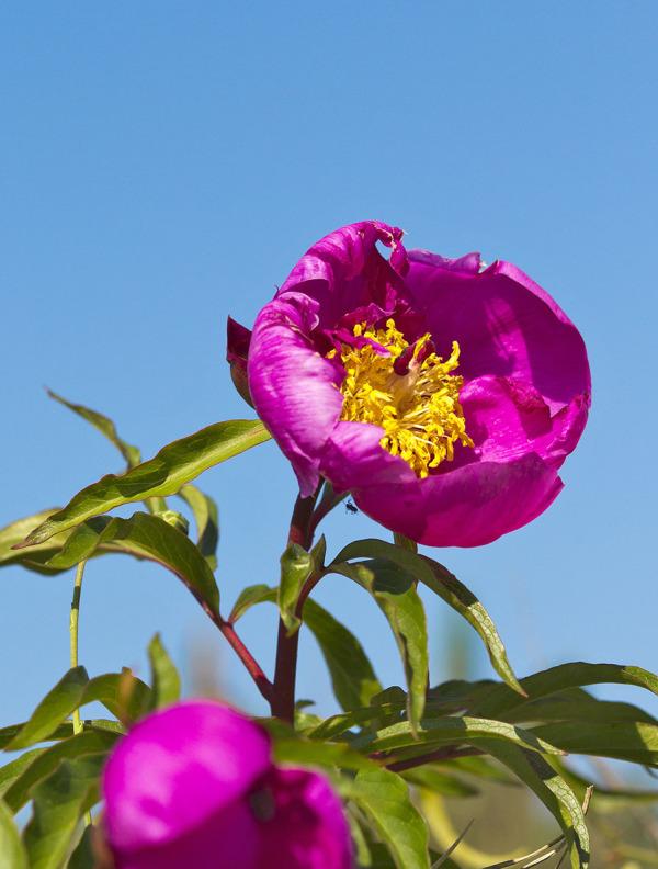 pnsac flor rosa-albardeira