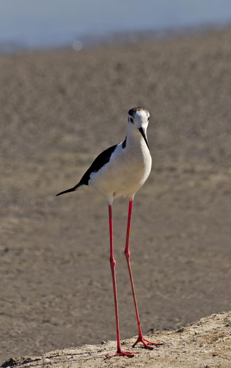 aveiro ria-de-aveiro salina perna-longa