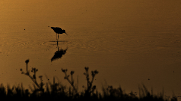 aveiro ria-de-aveiro salina perna-longa ave