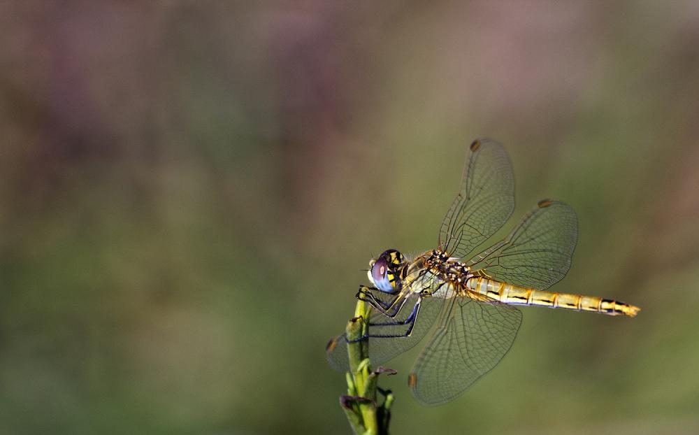 libelinha carrasqueira