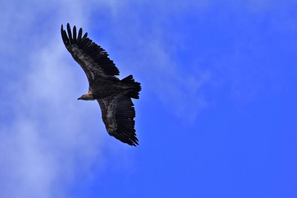 proença-a-nova grifo ave portas-de-rodão
