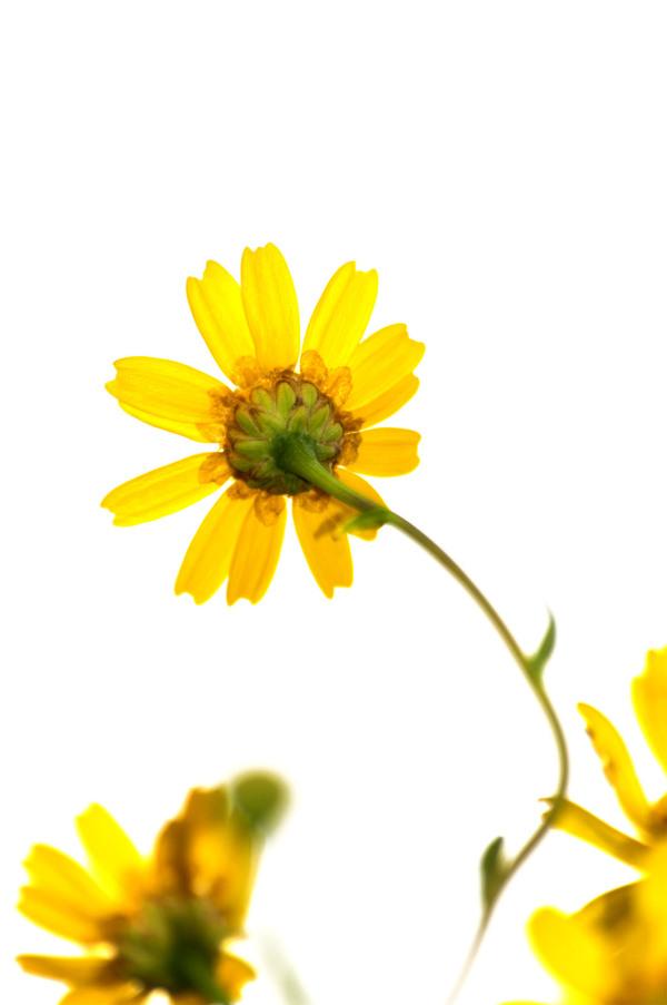 pnsac flor amarelo high-key