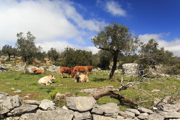 pnsac vaca