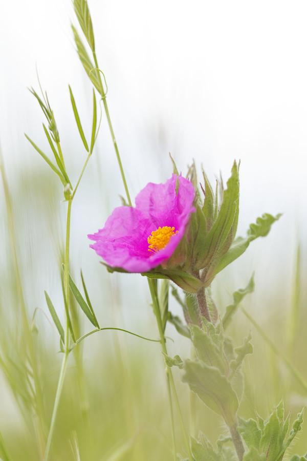 flor cistus maceira