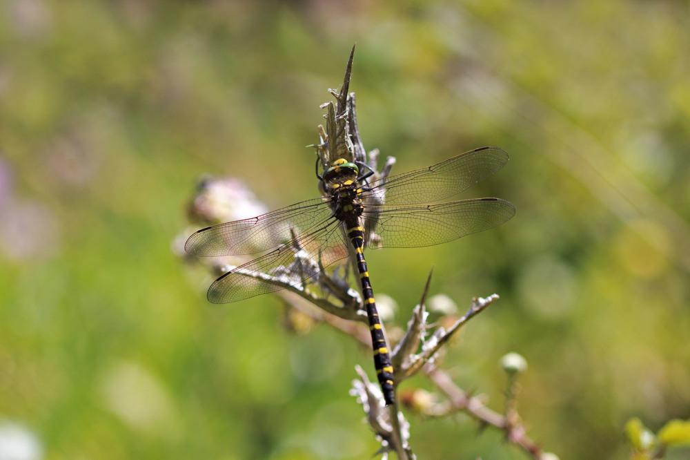 sintra libelinha