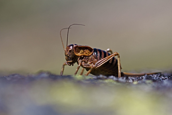 serraestrela insecto