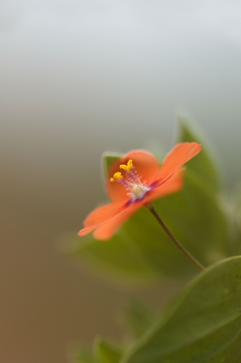 flor morrião salgado