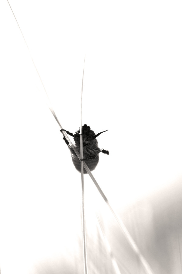 serraestrela insecto coleoptera