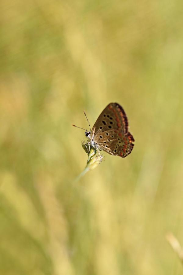 serraestrela borboleta