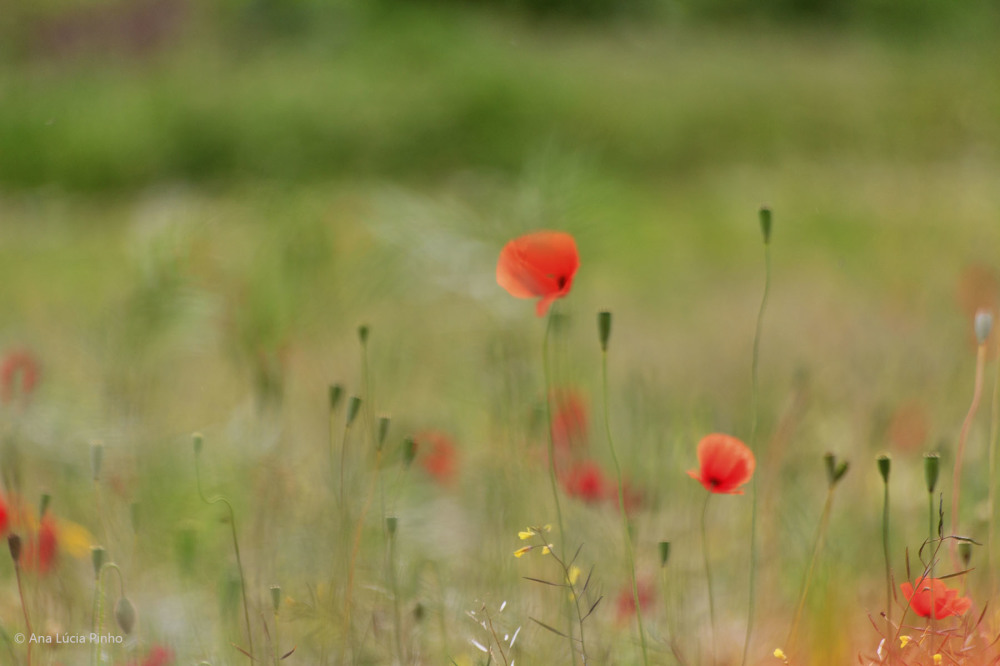 papoilas flor pnsac